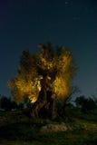 Di olivo antico alla notte Fotografia Stock