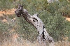 Di olivo antico di morte Immagini Stock Libere da Diritti