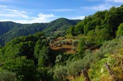 di olivo in castagniccia Fotografia Stock