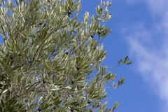 Di olivo con cielo blu fotografie stock libere da diritti