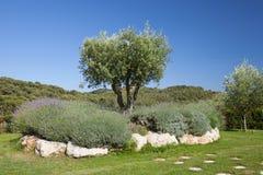 Di olivo con i cespugli del lavander Immagini Stock Libere da Diritti