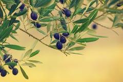 Di olivo con i frutti Immagine Stock Libera da Diritti