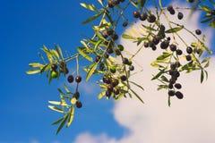 Di olivo con i frutti Immagini Stock
