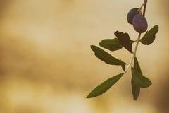Di olivo con i frutti Fotografia Stock Libera da Diritti