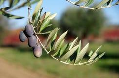 Di olivo con i frutti Fotografie Stock Libere da Diritti