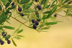 Di olivo con i frutti Fotografia Stock