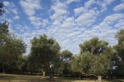 Di olivo con il fondo del cielo Fotografie Stock