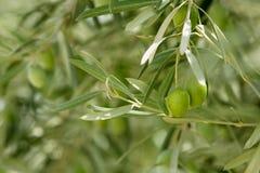 Di olivo con la frutta verde in Spagna Fotografia Stock Libera da Diritti