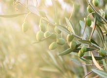 Di olivo con le foglie, Fotografia Stock