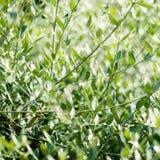 Di olivo con le foglie Fondo della natura della primavera con di olivo Fotografia Stock