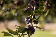 Di olivo con le foglie, fondo soleggiato naturale dell'alimento Immagini Stock Libere da Diritti