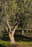 Di olivo con le olive di maturazione Fotografia Stock