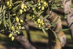 Di olivo con le olive verdi mature Fotografie Stock