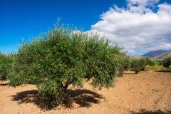Di olivo con produttività molto buona delle olive verdi, Creta, Grecia immagini stock