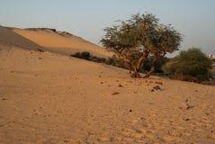 Di olivo in deserto Fotografie Stock Libere da Diritti