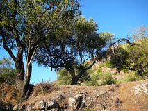 Di olivo e della mandorla Fotografia Stock Libera da Diritti