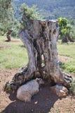 Di olivo e delle pecore Immagini Stock Libere da Diritti