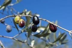 Di olivo e una fine su delle olive, olive ligure il nome Fotografia Stock