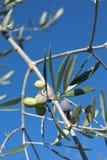 Di olivo e una fine su delle olive, olive ligure il nome Fotografia Stock Libera da Diritti