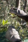 Di olivo e una fine su delle olive, olive ligure il nome Fotografie Stock Libere da Diritti