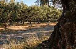 Di olivo e una strada Fotografia Stock Libera da Diritti