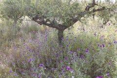 Di olivo ed il cardo selvatico porpora fiorisce vicino allo stoupa in mani sul gr Immagine Stock Libera da Diritti
