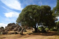 Di olivo gigante Fotografie Stock Libere da Diritti