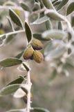 Di olivo in inverno Fotografia Stock Libera da Diritti