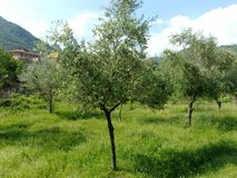 Di olivo, Italia del sud Immagine Stock