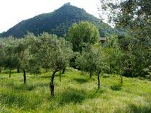 Di olivo, Italia del sud Fotografie Stock Libere da Diritti