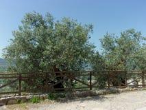 Di olivo, Italia del sud Fotografie Stock