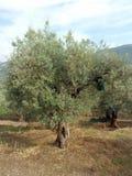 Di olivo, Italia del sud Fotografia Stock