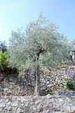 Di olivo, Italia del sud Immagini Stock