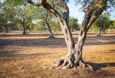 Di olivo in Italia del sud Fotografia Stock Libera da Diritti