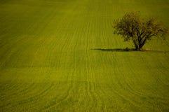 Di olivo nel campo Immagini Stock