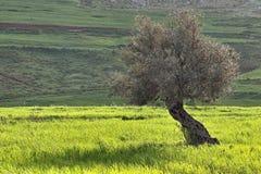 Di olivo nel campo di frumento verde Immagini Stock Libere da Diritti