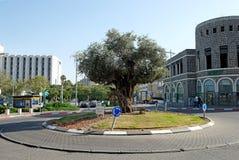 Di olivo nel cerchio nella città di Tiberiade Immagini Stock
