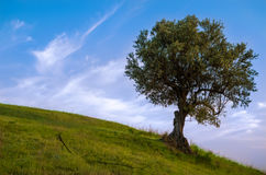 Di olivo nel verde del prato Fotografia Stock