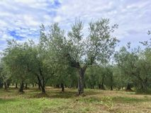 Di olivo nell'interno sentito di forma della foresta verde oliva in Toscana, Italia fotografie stock libere da diritti