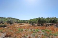 Di olivo nell'isola di Rodi Fotografia Stock Libera da Diritti