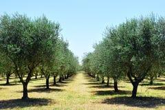 Di olivo nella campagna della Toscana, Toscana, Italia Fotografia Stock