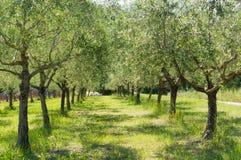 Di olivo nella campagna di Romagna Immagini Stock