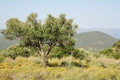Di olivo nella fine dell'estate greca Fotografie Stock Libere da Diritti