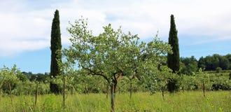 Di olivo piantati nella campagna toscana in Italia Immagine Stock Libera da Diritti