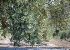 Di olivo in pieno del fiore Fotografie Stock Libere da Diritti