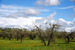 Di olivo in primavera Immagini Stock