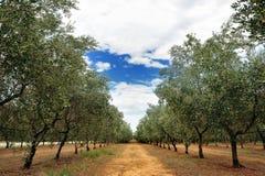 Di olivo remano in un giorno di estate nuvoloso nella campagna della Toscana, Toscana, Italia Immagini Stock
