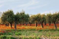 Di olivo su un tappeto dei papaveri Fotografia Stock