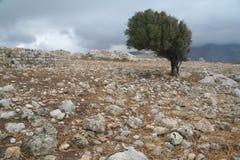 Di olivo sulle rocce immagine stock