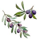 Di olivo in uno stile dell'acquerello isolato Immagini Stock